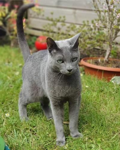 Russian Blue Gato Anti Alérgico Gatil Lunar Instagram