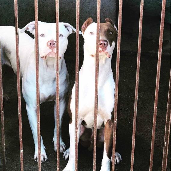 Americano Pitbull Terrier ( Disponível Para Cobertura )