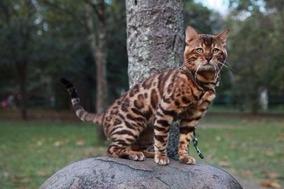 Gato Bengal - Filhotes - Pelagem Espetacular - Incomparável
