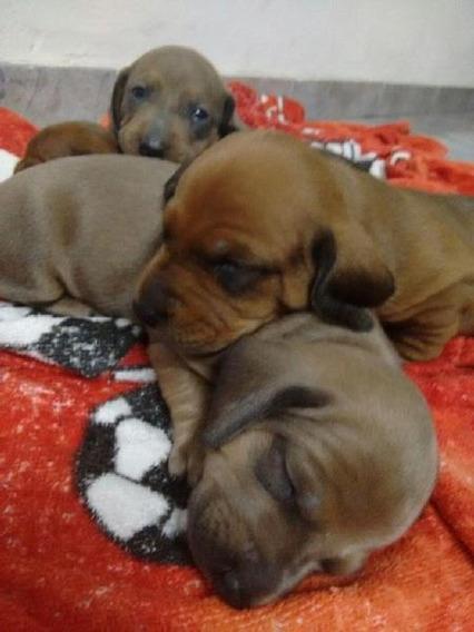 Cachorros Salchichas Machos