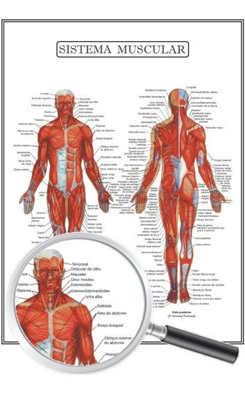 Poster Anatomia Humana Fisioterapia, Sistema Muscular 30x40