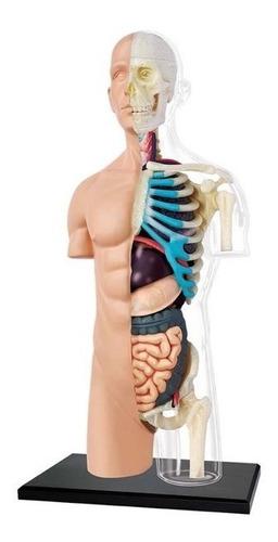 4d Vision Human Anatomy Modelo Torso Humano Medio 26083