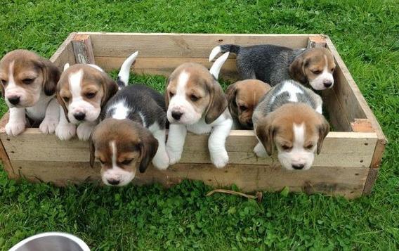 Cachorros Beagle Línea Premium Estancia La Palomina