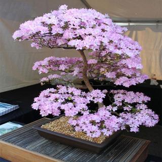 Semillas Sakura Cerezo Japones 10 Semillas Fertiles