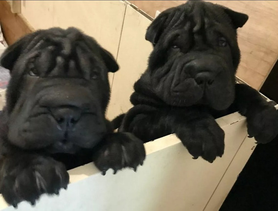 Cachorros Shar Pei Negros Y Leonados !!