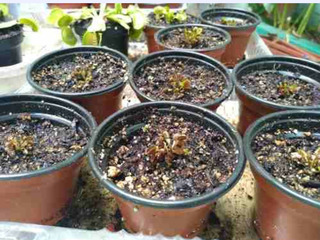 Plantas Carnívoras,dionaea Muscipula, Red Dragón