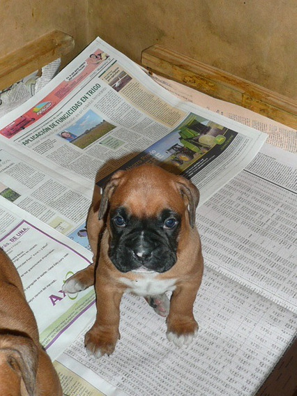 Boxer Cachorros Hembras Para Cria Rockefeller Willsam