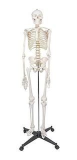 Zeny Esqueleto Humano Tamaño Natural 180 Cm (6ft)