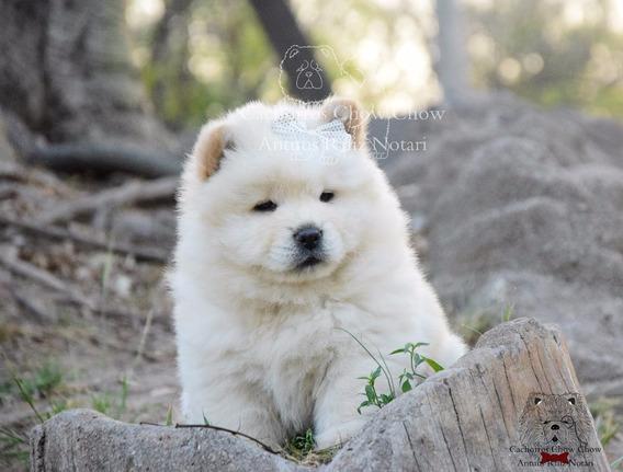 Cachorras Chow Chow Blancas/cremas. Con Video!