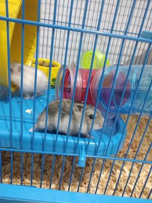 Hamsters Russo Anão