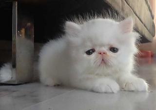 Gatitos Persa Blancos Hielo Hermosos !!