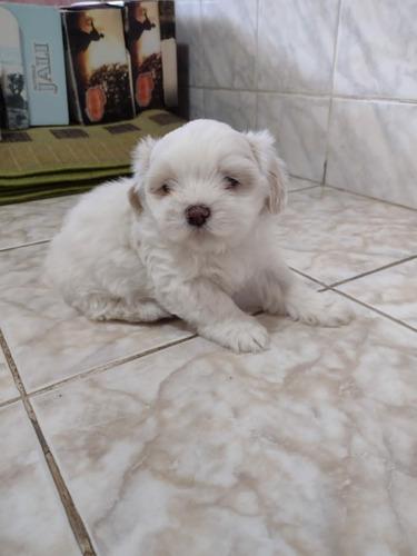 Vendo Cãozinho Shitzu