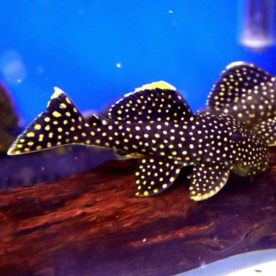 Peixe Cascudo Pepita De Ouro L018 (baryancistrus Xanthellus)