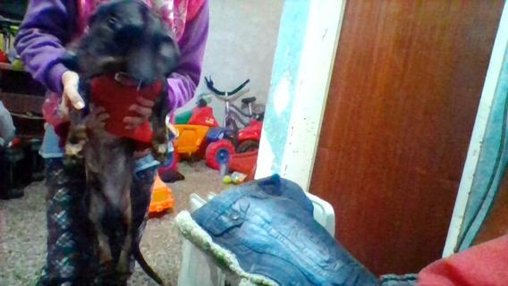 Perros Salchichas Puros