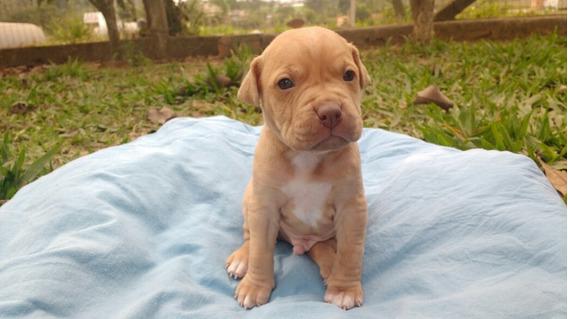 Filhote De Américan Pit Bull Terrier, Exótico