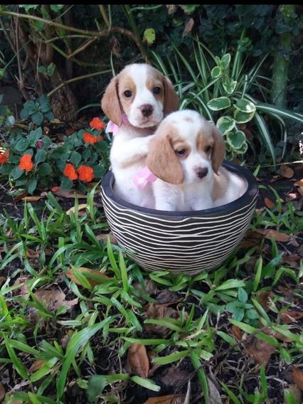 Cachorros Beagle Tricolor Y Bicolor