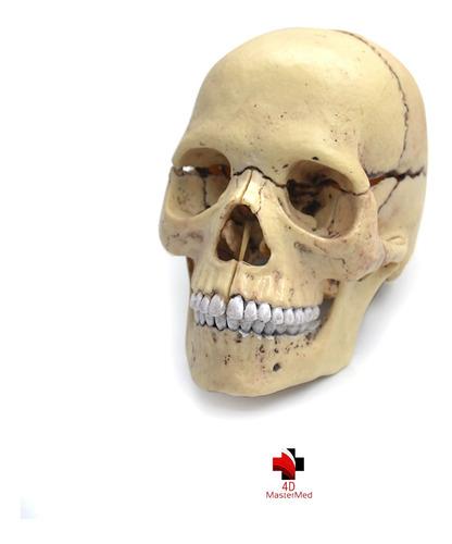 Modelo Do Corpo Humano - Crânio - 086