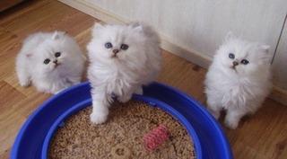 Impresionantes Gatitos Persas En Venta