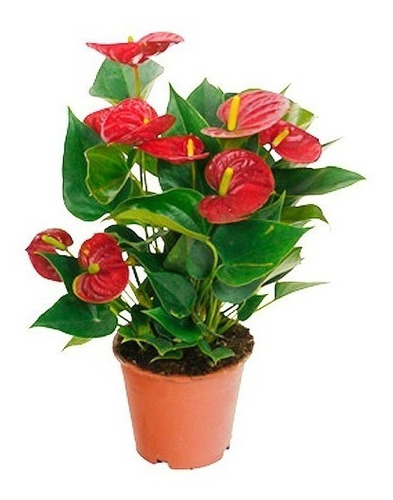 Imagen 1 de 3 de 15 Semillas De Planta Floral En Maceta  Anthurium Rojo