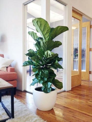 Imagen 1 de 4 de Planta Ficus Pandurata O Lyrata  De 1 M A 1.5 M Frondosa