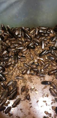 Cucarachas Dubias Blapticas 500 Oferta