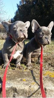 Cachorros Bulldog Francés Listos Ahora