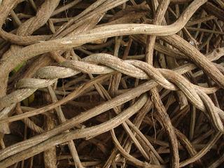 Banisteriopsis Caapi Jagube Mariri Yagé Fresco Tucunaca 2kg