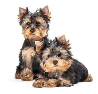 Compro Yorkshire Cachorro
