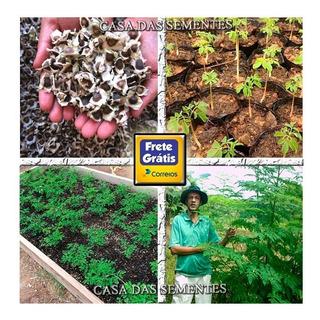 Moringa Oleifera - Sementes Frescas Para Plantio De Mudas