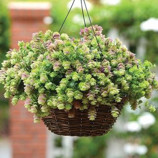 Semillas De Planta Oregano Ornamental ,