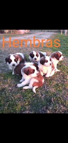 Cachorros San Bernardo Puros
