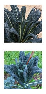 120 Sementes De Couve Nero Di Toscana Kale Cavolo Negra