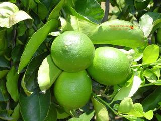 100 Limones Persas, Envio Incluido