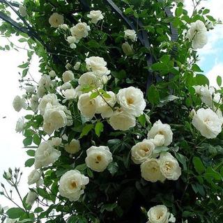 Semillas De Rosas Trepadoras Blanca (rosaceae)