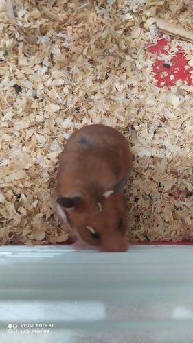 Imagem 1 de 3 de Hamster + Duas Gaiolas