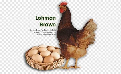 Gallinas Ponedoras Lohmann Brown De 1 Mes.