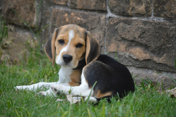 Cachorros Beagle Tricolor