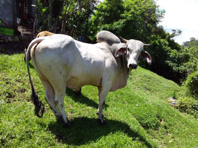 Toro Brahman Para Padrote