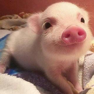 Comida Para Mini Pig - Animales y Mascotas en Mercado Libre