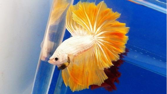 Yellow Dragon Ohm Long Tail