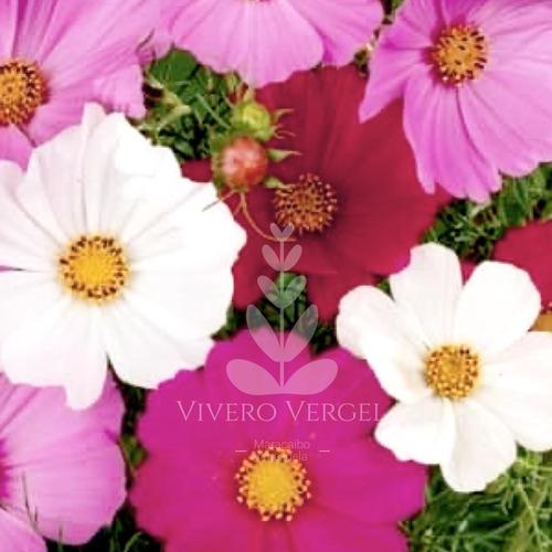 Semillas Flores Cultivo Cosmos Obsequio