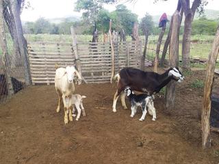 Cabras Lecheras Canarias