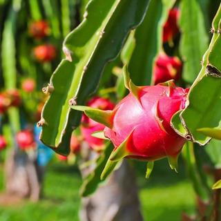 Esquejes De Pitahaya Pitaya Con Envio Gratis! Fruta Dragon
