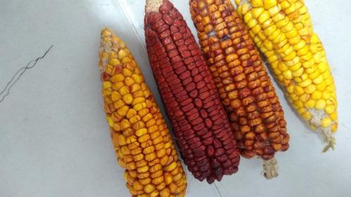 Semilla De Maiz Cariaco Amarillo Y Rojo
