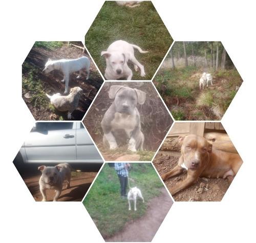 Vendo Filhotes America Bully Filhotes De Dog Argentino