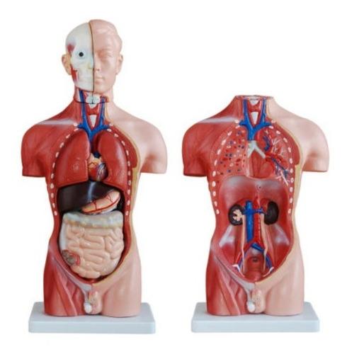 Modelo Del Cuerpo Humano