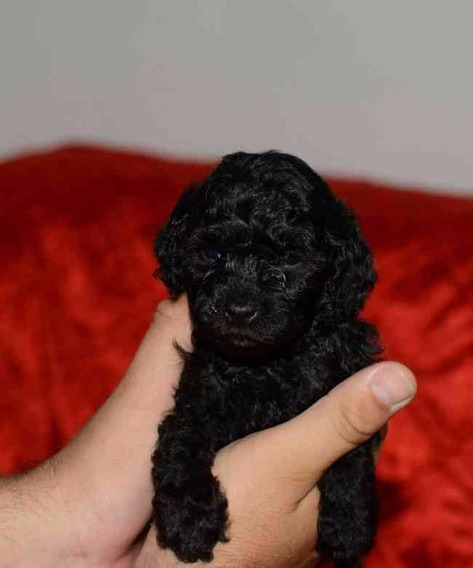 Cachorros Caniche Toy Mini Toy Negros