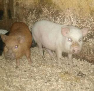 Cerdita Mini Pig