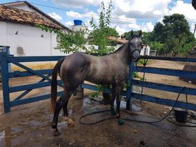 Cavalo Quarto De Milha Puro De Origem