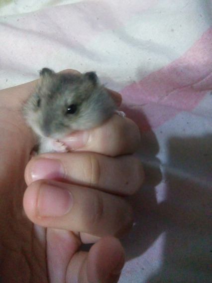 Filhotes De Hamster - Anão Russo